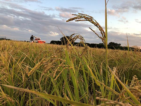 無農薬・無肥料の自然栽培米「ササシグレ」